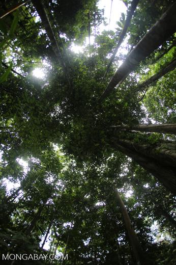 Dipterocarps in the Borneo rainforest -- sabah_4107