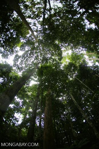 Dipterocarp forest in Borneo -- sabah_4123