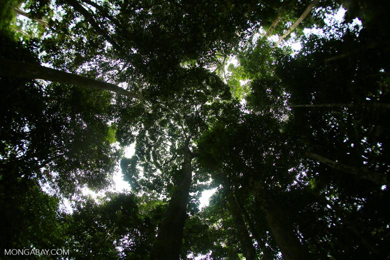 Dipterocarp forest in Borneo -- sabah_4127