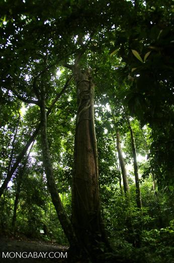 Dipterocarp forest in Borneo -- sabah_4128