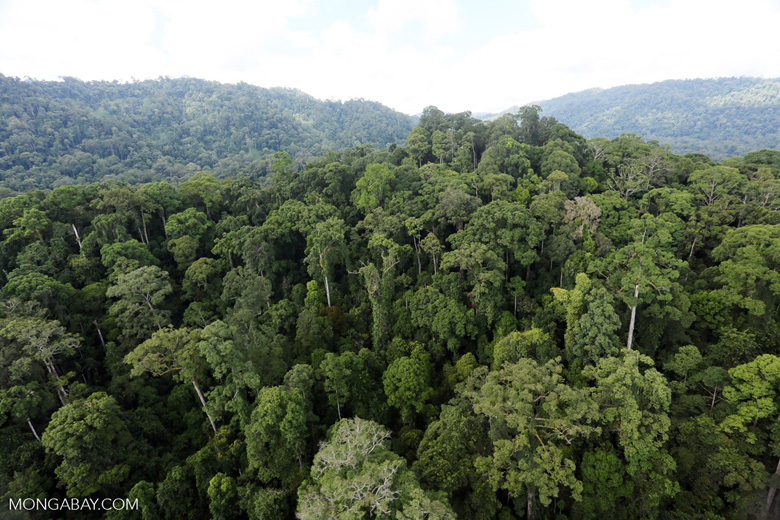 Intact rainforest in Malaysian Borneo.