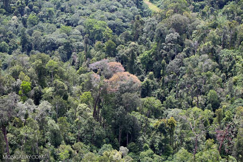 Flowering rainforest trees