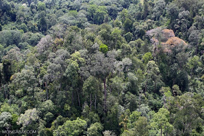 Flowering rainforest trees -- sabah_aerial_1750