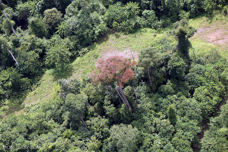 Flowering rainforest trees -- sabah_aerial_1751