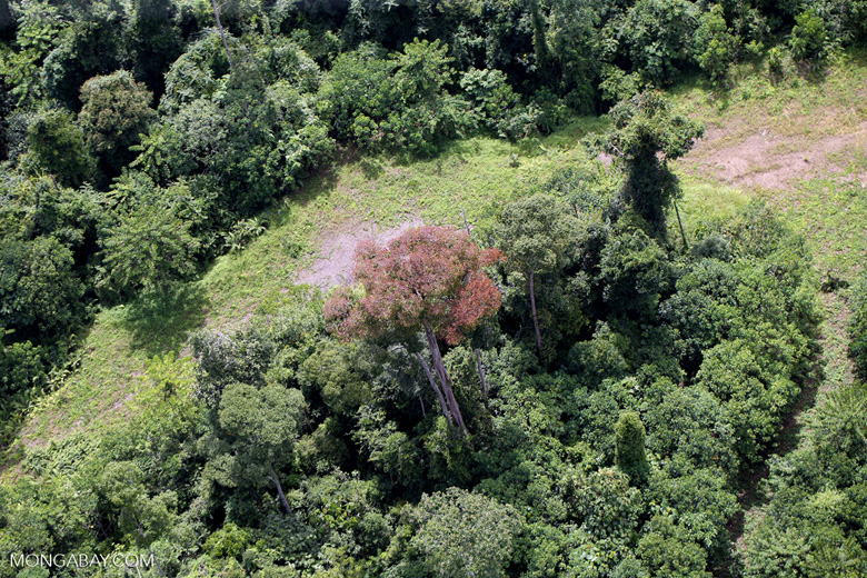 Flowering rainforest trees -- sabah_aerial_1753