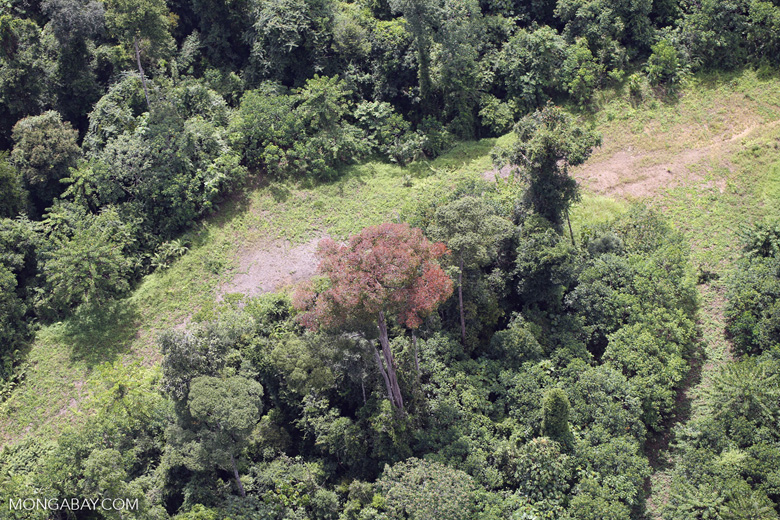 Flowering rainforest trees -- sabah_aerial_1755