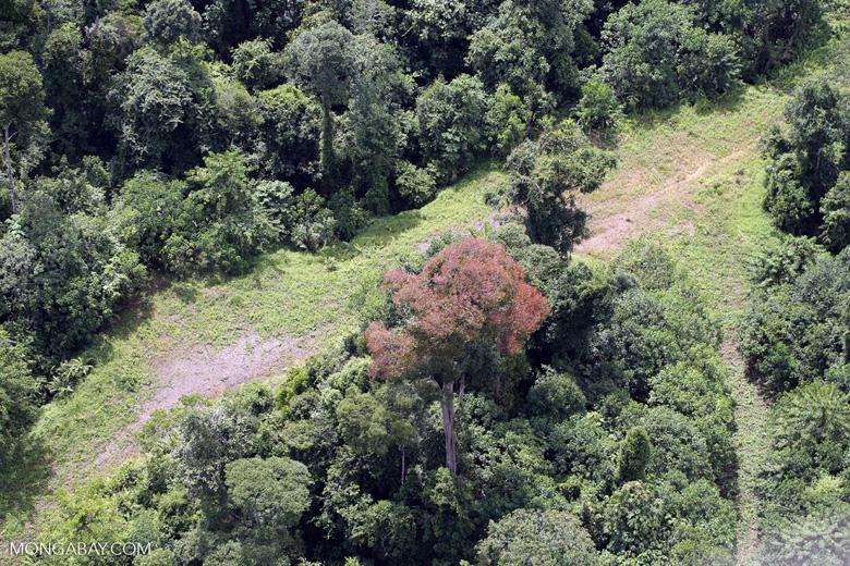 Flowering rainforest trees -- sabah_aerial_1757