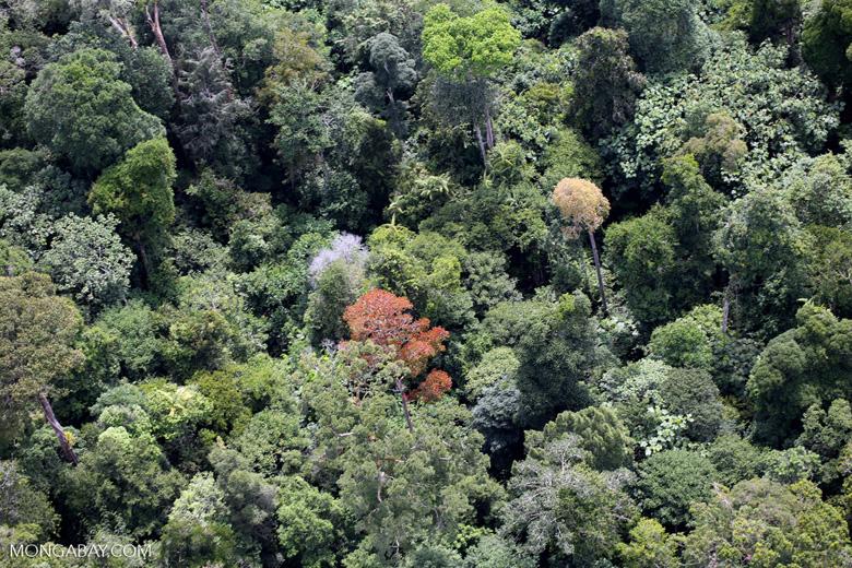 Flowering rainforest trees -- sabah_aerial_1760