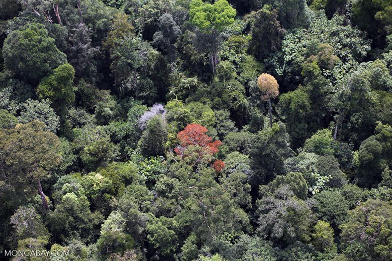 Flowering rainforest trees -- sabah_aerial_1762