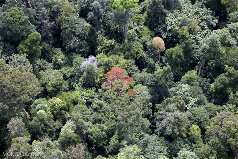 Flowering rainforest trees -- sabah_aerial_1763