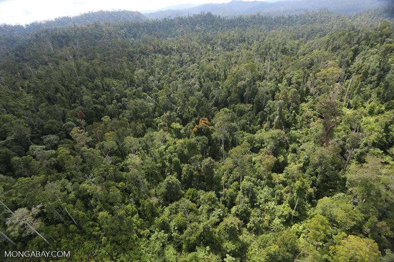 Orange flowering tree amid the rainforest in Borneo -- sabah_aerial_2346