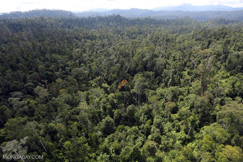 Orange flowering tree amid the rainforest in Borneo -- sabah_aerial_2348