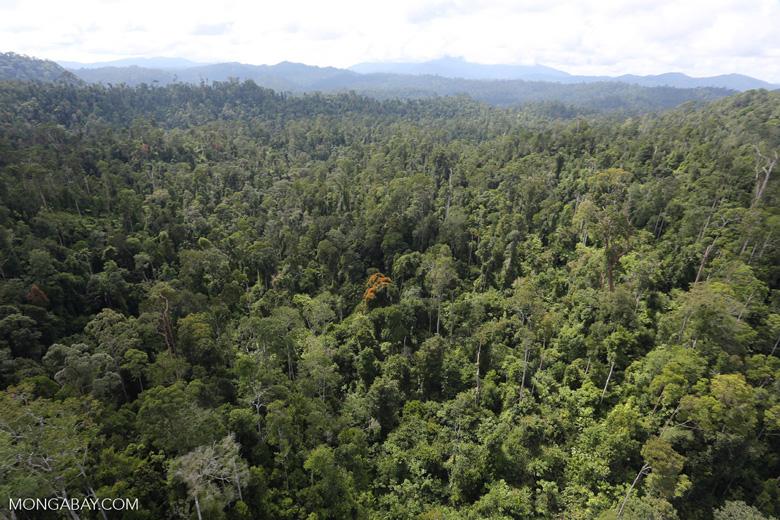 Orange flowering tree amid the rainforest in Borneo -- sabah_aerial_2353