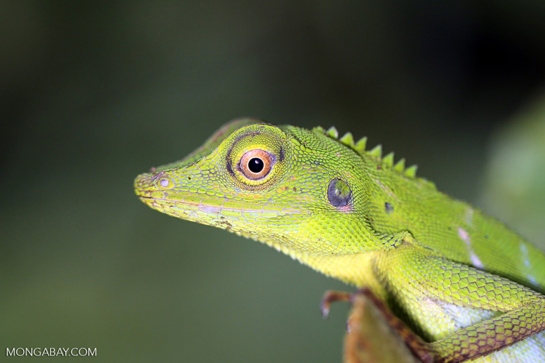 Green forest dragon in Danum Valley. Photo by Rhett A. Butler