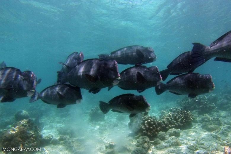 Green humphead parrotfish off Sipadan Island, Sabah, Malaysia. Photo by Rhett A. Butler