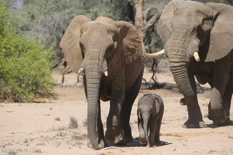 African elephants in Namibia. Photo by Rhett A. Butler