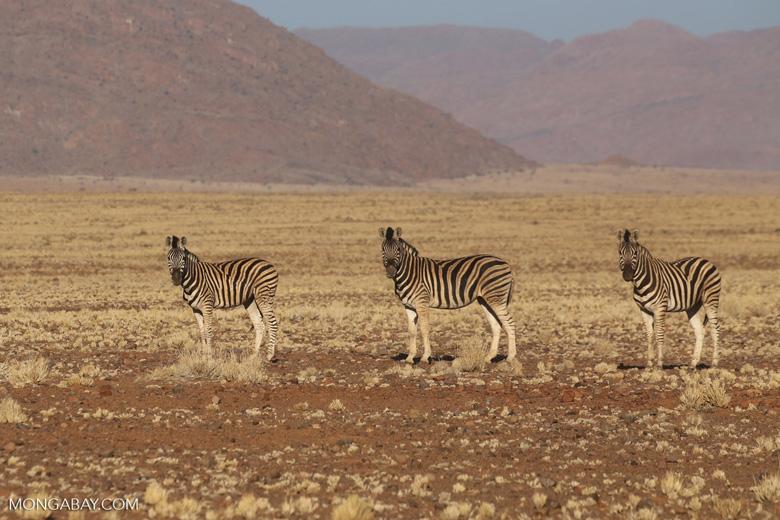 Zebra in Namibia. Photo by Rhett Butler/Mongabay.