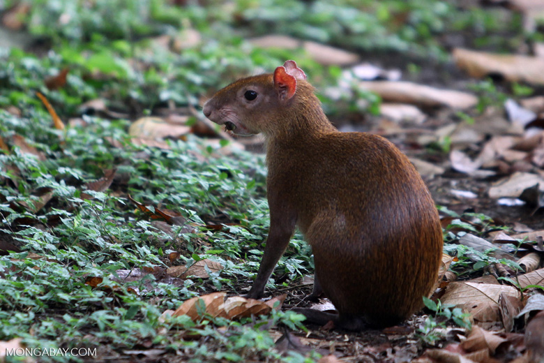 Giant rodents like the agouti are widely hunted in forests across Latin America. Photo by Rhett A. Butler