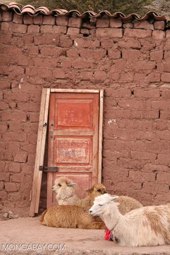 Llama; sheep; alpaca in front of adobe house with red door