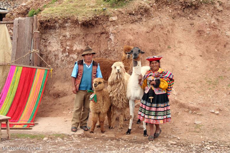 Family with llama; sheep; alpaca