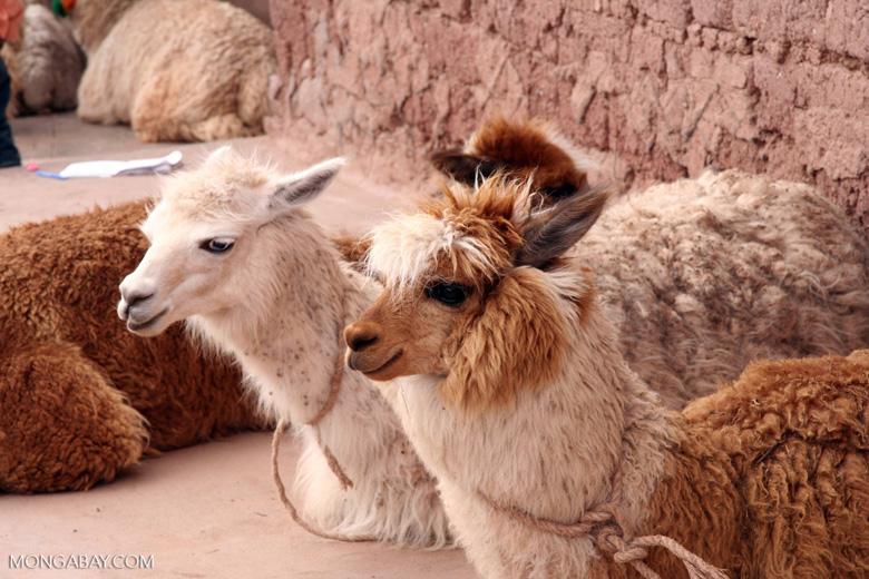 Llama and alpaca