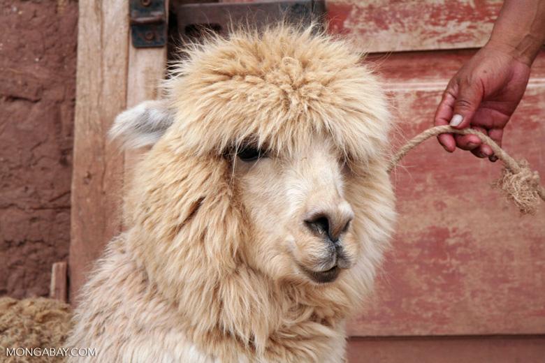 Alpaca in the Andes [cuzco-Cuzco_1021_1419]