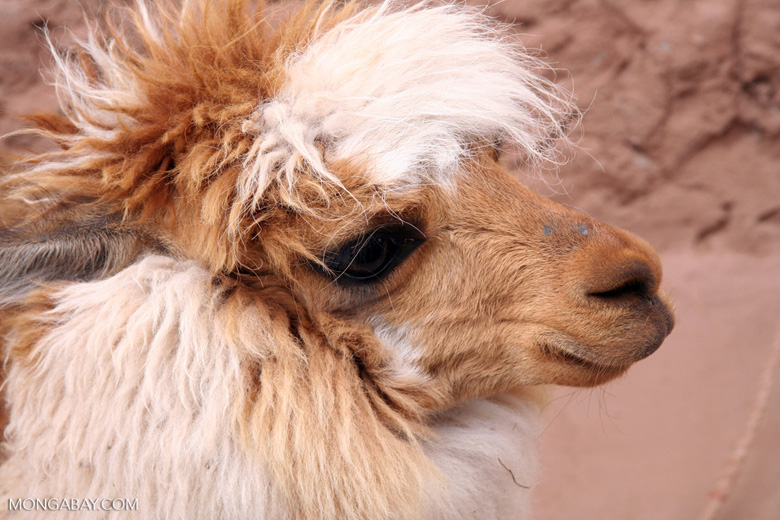 Llama in the Andes