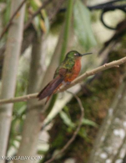 Boissonneaua matthewsii hummingbird perched in tree