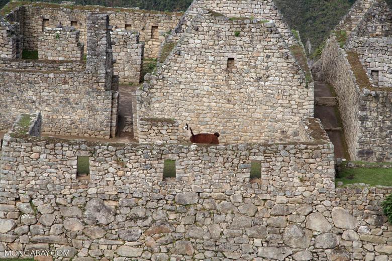 Brown llama among ruins at Machu Picchu