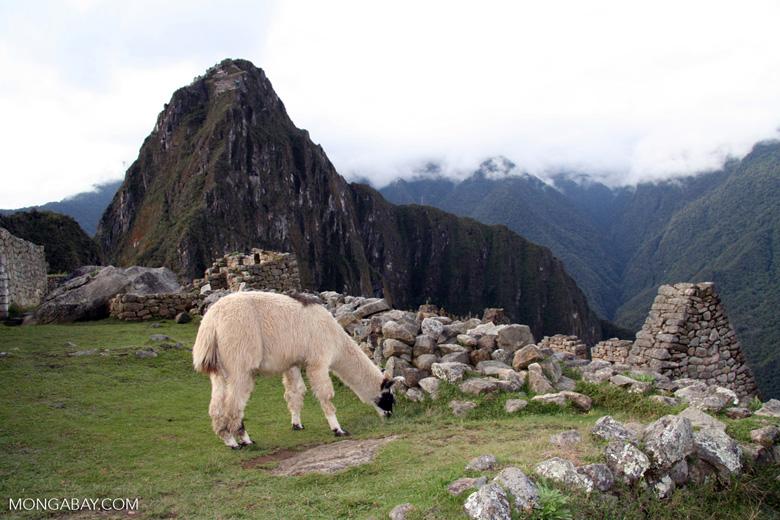 Llama eating grass at Machu Picchu