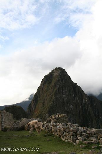 Llama at Machu Picchu [machu_picchu-Machu_1018_1045]