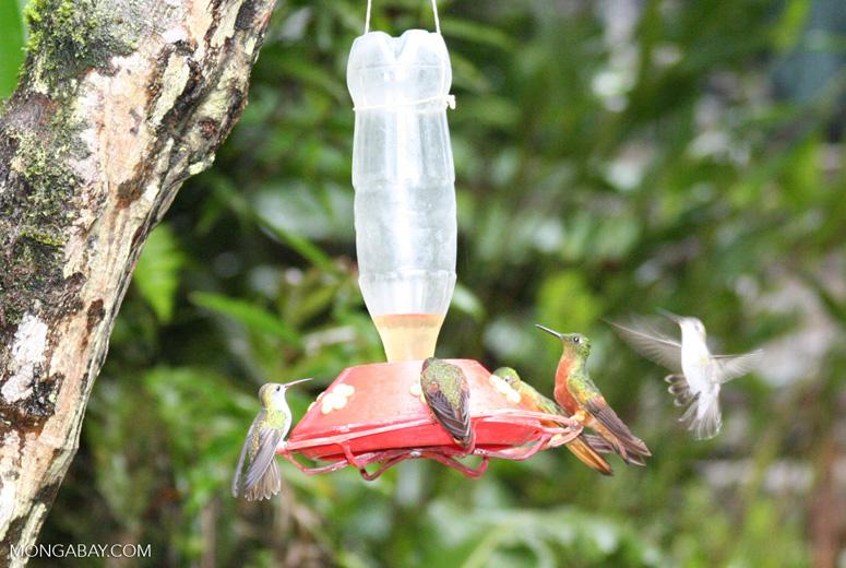 Hummingbirds on bird feeder [machu_picchu-Machu_1019_1139]