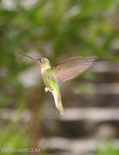 Heliangelus amethysticollis hummingbird