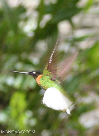 Coeligena (inca) torquata hummingbird in flight