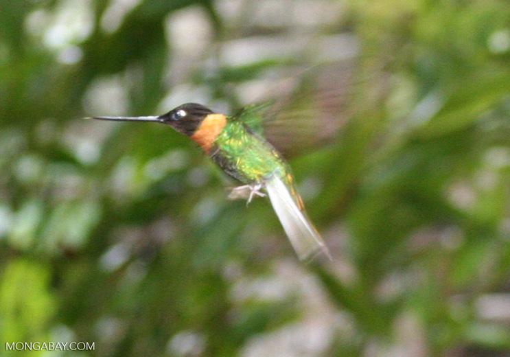 Coeligena (inca) torquata hummingbird in flight [machu_picchu-Machu_1019_1166a]