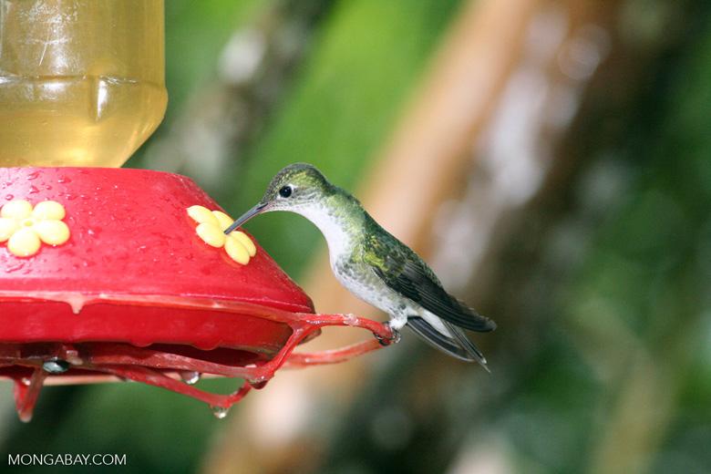 Leucippus chionogaster hummingbird