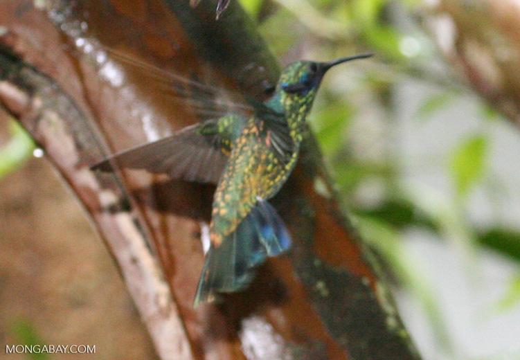 Colibri thalassinus hummingbird