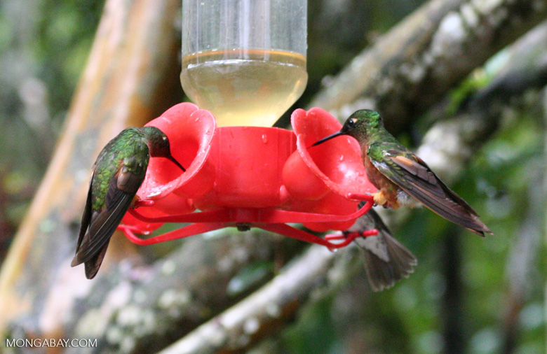 Coeligena (inca) torquata hummingbirds at bird feeder