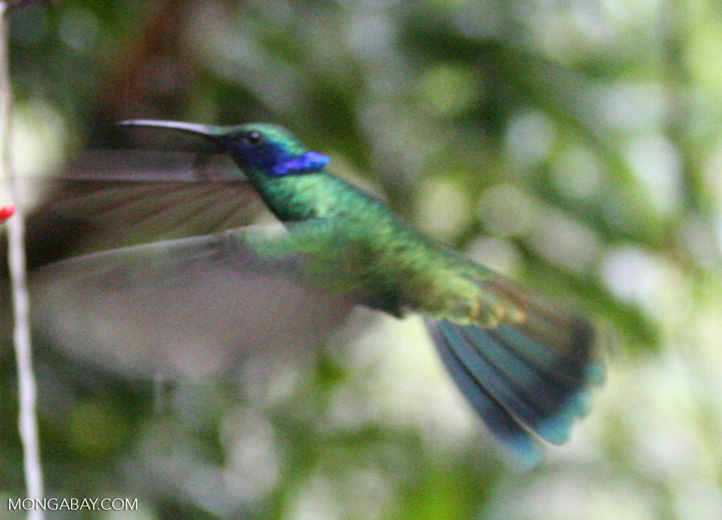 Colibri coruscans hummingbird.