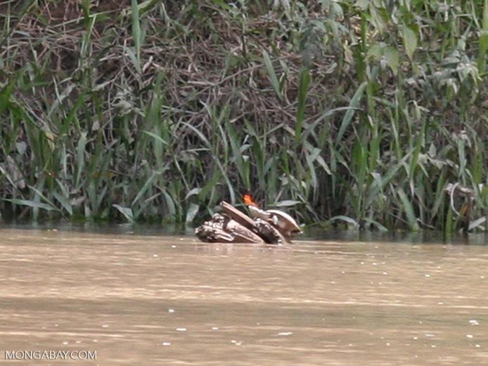 Several side-necked turtles (Podocnemis sp.) on log [manu-Manu_1022_1706]