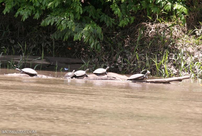 Several side-necked turtles (Podocnemis sp.) on log