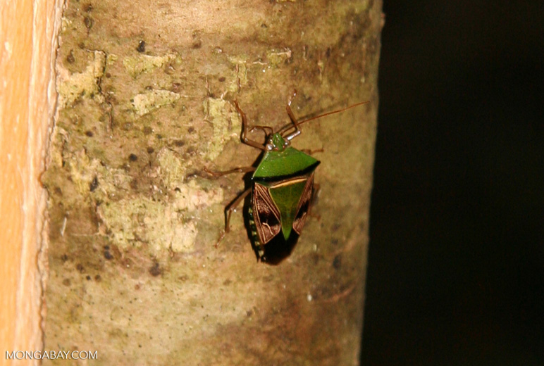 Green, brown, and black Pentatomidae Stink Bug