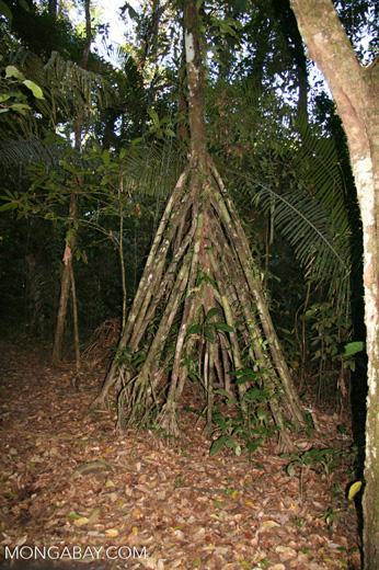 Stilt roots of walking palm tree