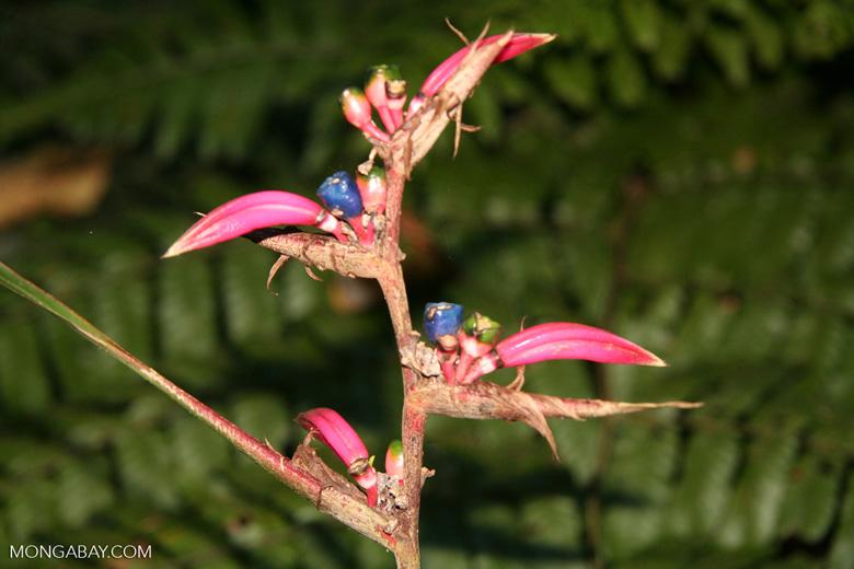 Pink heliconia [manu-Manu_1022_1882]