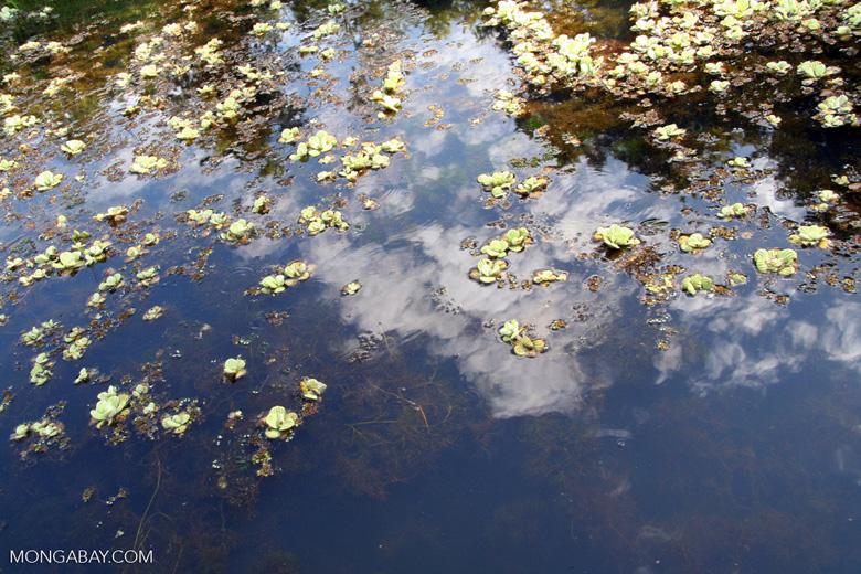 Foxtail aquatic plant and water lilies growing in natural habitat [manu-Manu_1022_2061]