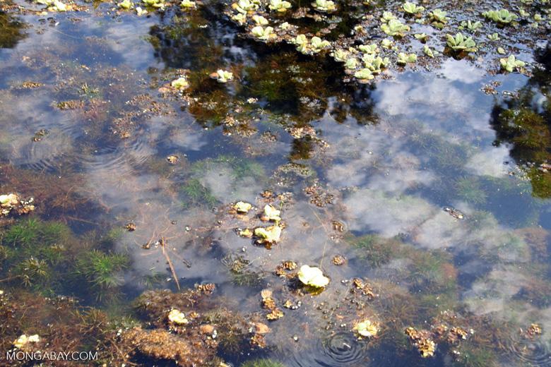 Foxtail aquatic plant and water lilies growing in natural habitat [manu-Manu_1022_2063]
