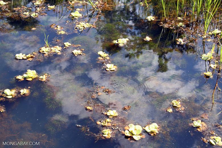 Foxtail aquatic plant and water lilies growing in natural habitat [manu-Manu_1022_2064]