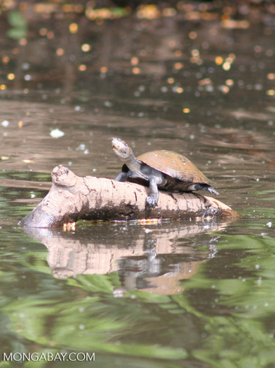 Yellow spotted Side-necked turtle (Podocnemis sp.) on log