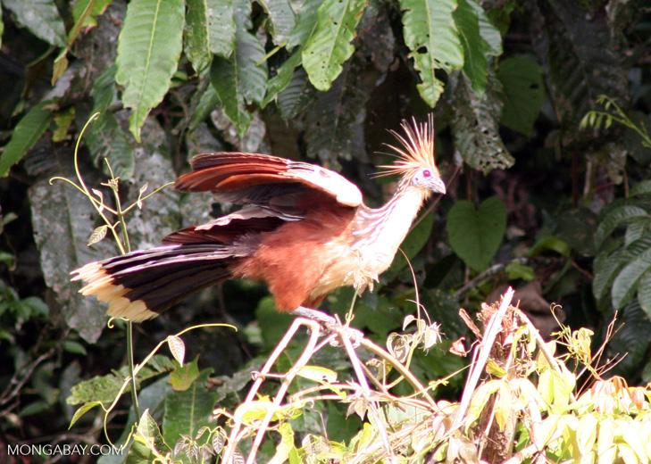 Hoatzin (Opisthocomus hoazin) in vegetation along oxbow lake [manu-Manu_1022_2165]