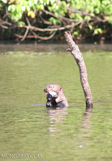Giant river otter eating a fish in the Amazon